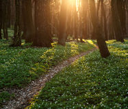 The trail in the flowered spring forest Royalty Free Stock Photos