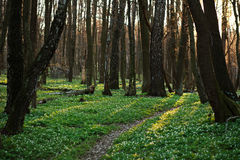 The trail in the flowered spring forest Stock Photos