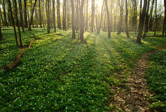 Trail in flowering green forest leading to the setting sun Royalty Free Stock Image