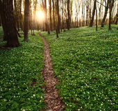 Trail in flowering green forest leading to the setting sun Royalty Free Stock Photos