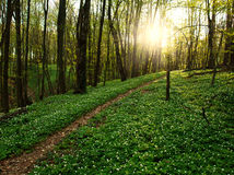 Trail in flowering green forest leading to the setting sun Stock Photos