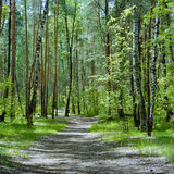 The trail in the forest with birches and pines Royalty Free Stock Photos