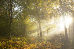 Trail in the forest and morning light with fog during autumn Royalty Free Stock Photo