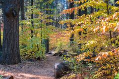 Trail through a forest painted in fall colors, Calaveras Big Trees State Park, California stock photography