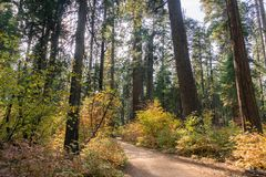 Trail through a forest painted in fall colors, Calaveras Big Trees State Park, California stock images