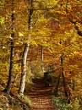 Trail in forest by vibrant colors in fall. Hiking trail in a forest by vibrant colors at fall. Nature in the Swabian Alps, Germany. Indian summer Royalty Free Stock Image