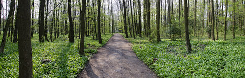 Trail through a forest with wild garlic Stock Photography