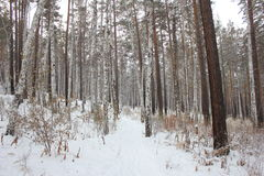 Trail through the forest. Trail through the winter forest Royalty Free Stock Photo