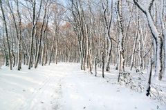 Trail with frozen tree trunks on winter Royalty Free Stock Image