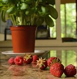 Trail of Fruit. A trail of delicious berries that lead to a luscious basil plant Royalty Free Stock Image