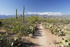 Trail through giant Saguaro cactus forest Stock Images