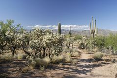 Trail in giant Saguaro cactus forest Stock Photos