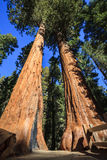Trail Between Giant Sequoias. Trail between two giant sequoias in Giant Grove, Sequoia National Park, California Stock Photos