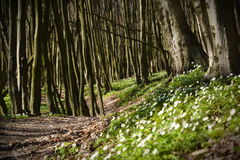 The trail goes into the depths of the spring forest. Etween the trees growing a lot of small white flowers Stock Photos