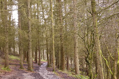 The Trail Goes Further. A muddy and wet walking trail in the Brecon Beacons national park passes throught a grove of winter bare fir trees. The park workers Stock Image