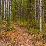 Trail in Golden Aspen Forest Stock Photos