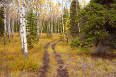 Trail in Golden Aspen Forest Royalty Free Stock Photo