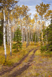 Trail in Golden Aspen Forest Royalty Free Stock Image