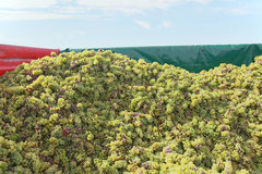 Trail of grapes. Full trail of white grapes stock photo
