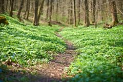 Trail among the grass in the wet spring forest. No people Royalty Free Stock Images