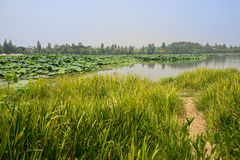 Trail in grassy waterside of lotus pond on summer day Royalty Free Stock Photos