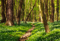 Trail in green blossoming spring forest, nature background Royalty Free Stock Photo