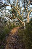 A trail on a hill lined up by Eucalyptus trees in the Australian bush Royalty Free Stock Photography