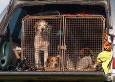 Trail Hounds in cage Stock Image