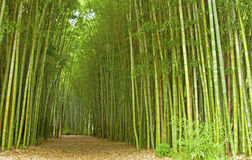 Trail through a hugh bamboo grove. Stock Images
