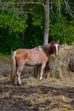 Horse eating hay from a feed bunk Royalty Free Stock Photography
