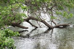 Tree over pond dipping into water stock photo