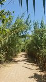 A Trail Between The Many Long Cane Poles On The Bare Path Under The August Sunlight At A River Bank, Israel Stock Photos
