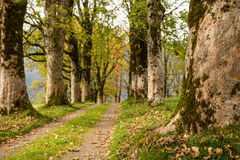 Trail with maple trees in fall Stock Photo
