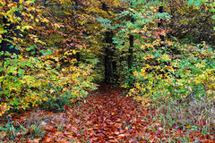 Trail into moist fall forest background. Lush deciduous forest, colourful at fall. Forest landscape in Germany Stock Image