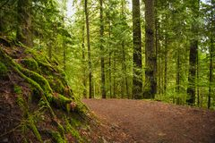Trail with mossy tree trunks in old growth rain forest in Vancou Royalty Free Stock Photo