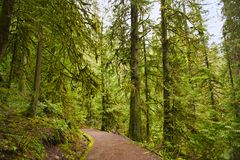 Trail with mossy tree trunks in old growth rain forest in Vancou Stock Image