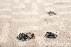 Trail of muddy paw prints on carpet. Trail of muddy paw prints on beige carpet royalty free stock photos