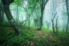 Trail through a mysterious beautiful forest in fog Stock Photography