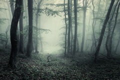 Trail through a mysterious dark forest in fog with green leaves. Stock Image