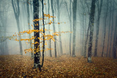 Trail through a mysterious dark old forest in fog. Autumn Stock Image