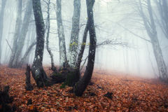 Trail through a mysterious dark old forest in fog. Autumn Stock Photography