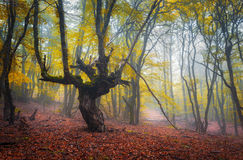 Trail through a mysterious dark old forest in fog. Autumn Royalty Free Stock Photography