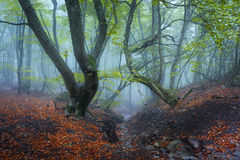 Trail through a mysterious dark old forest in fog. Autumn Stock Photo