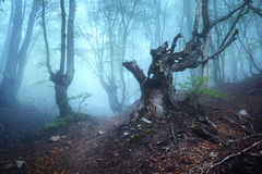 Trail through a mysterious dark old forest in fog. Autumn Stock Images