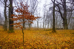 Trail through a mysterious dark old forest in fog. Autumn morning Royalty Free Stock Photography