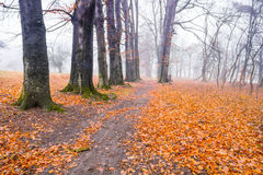 Trail through a mysterious dark old forest in fog. Autumn morning Stock Photos