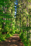 Trail near in a tall and dense coniferous forest Stock Photo