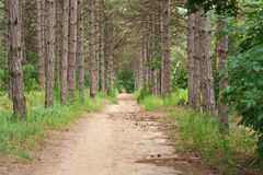 Trail and old pines Royalty Free Stock Photos