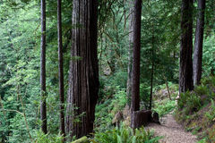 Trail in Oregon Rainforest Royalty Free Stock Image