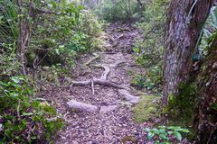 Trail over solidified lava on the in Rangitoto New Zealand. With exposed roots of a tree royalty free stock photography